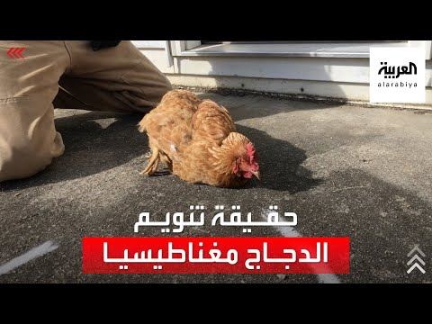 حقيقة فيديو تنويم الدجاج مغناطيسيا