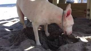 Isa Bull Terrier Digging Holes In The Sand