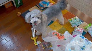 🐶犬用グッズを買ってきたら目を離した隙に犬にバレてこうなりましたw【トイプードル】