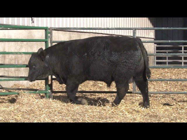Schiefelbein Angus Farms Lot 201