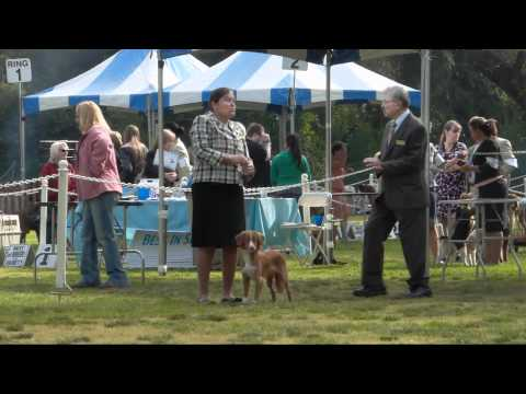 Nova Scotia Duck Tolling Retrievers at Dog Show June 5, 2011