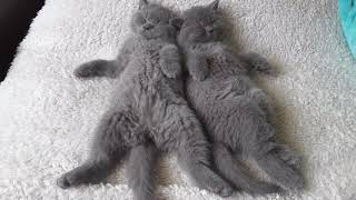 British Shorthair. When you do not have the strength after great fun*Calmcat British Shorthair .