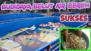 vuclip Cara Budidaya Belut Air Bersih Tanpa Lumpur Di Kolam Terpal