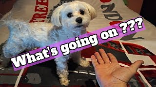 Dog Reacts to Magic Tricks! VERY FUNNY! Zizel the Maltese!