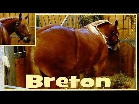 Cheval breton equus caballus linnaeus 1758 salon de - Salon de lagriculture ...