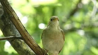 Download 3. Privighetoare roscata, common nightingale (Luscinia megarhynchos)