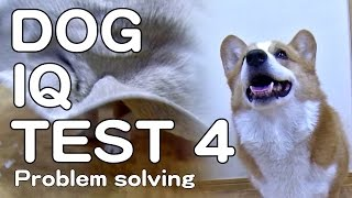 The Canine Iq Test 4 Problem Solving 犬のiqテスト4 問題解決能力 Goro@welsh Corgi コーギー Dog K9