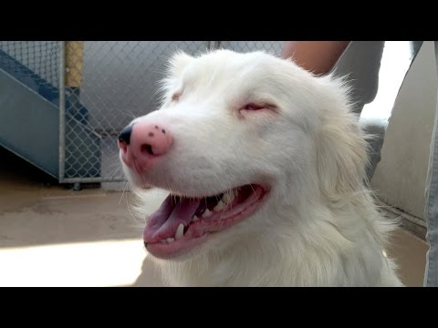 Cute Blind Australian Shepherd Needs Home