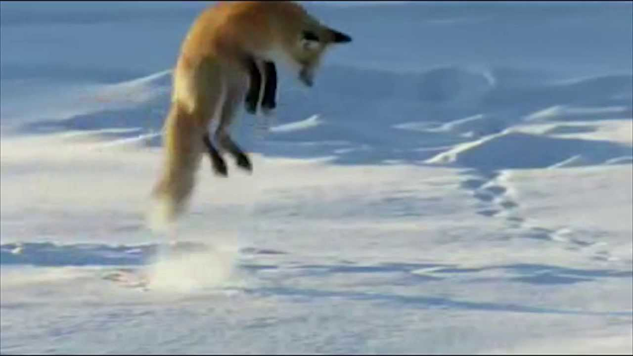Fox Dives Headfirst Into Snow Youtube