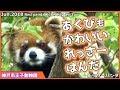 レッサーパンダ あくびもかわいい ガイア 神戸市王子動物園Red panda Kobe City Oji Zoo