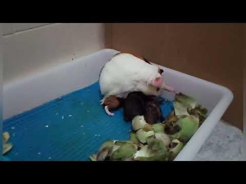 Роды морской свинки
