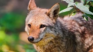 Койот, или лугово́й волк — хищное млекопитающее семейства псовых.