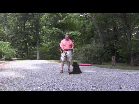standard-poodle-puppy-training---cooper---winston-salem-nc