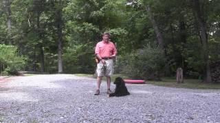 Standard Poodle Puppy Training - Cooper - Winston-Salem NC