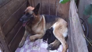 Помощь щенкам Немецкой овчарки. Если мама не хочет кормить.