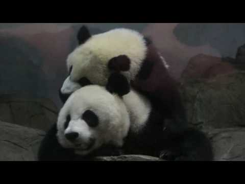 Giant Panda Bei Bei Won't Let Mom Nap