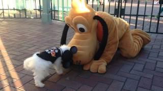 My dog #Max meeting #Pluto at #Disneyland