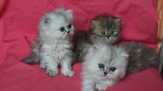 Персидская шиншилла котята youtube