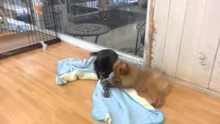 黒犬と茶色犬のケンカです。(@_@)