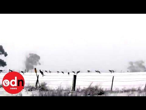 Ken Payne - Kangaroos Hoping Through The Snow Down Under
