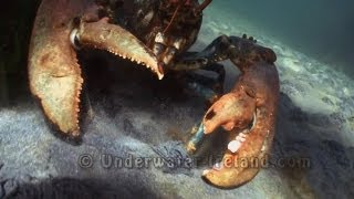 Huge giant 100 year old monster lobster attacks paparazzi camera underwater. Огромный омар атакует.