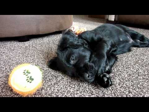Maceo Barker our Flat Coated Retriever Cute Puppy age around 8 weeks.