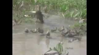 Yavru Ördekler, duck, yabani yavru ördek, yabani ördek,