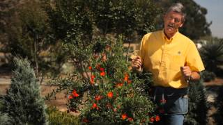 Planting Instructions for Pomegranates : Garden Savvy