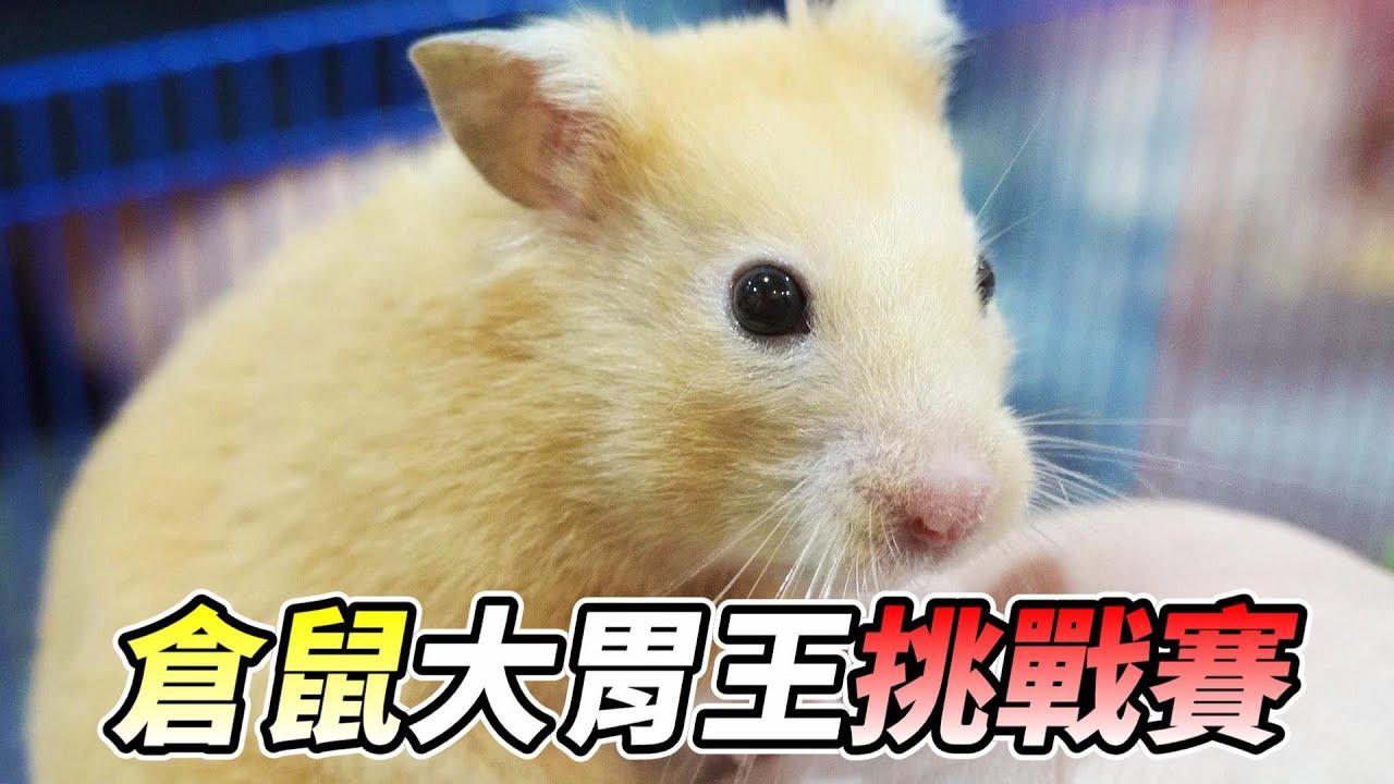 【維鼠日記】倉鼠盃大胃王挑戰賽!【維特】#89 - YouTube