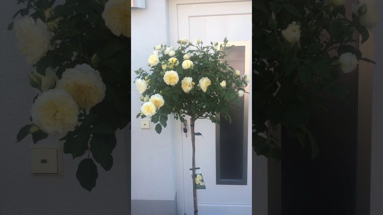 Englische Rose 'The Pilgrim' im Schaugarten GALAROSA