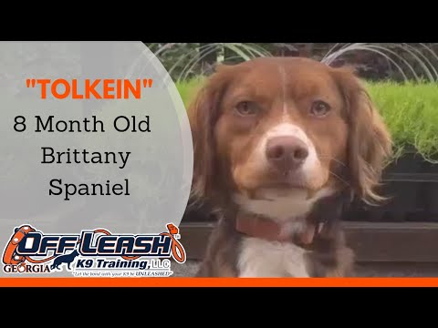 "8 Month Old Brittany Spaniel ""Tolkein"" Before/After Video 