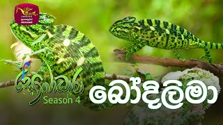 Sobadhara - Sri Lanka Wildlife Documentary | 2020-07-17 | Chameleons (බෝදිලිමා) Thumbnail