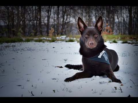 Art of Move the Australian kelpie - 8 months