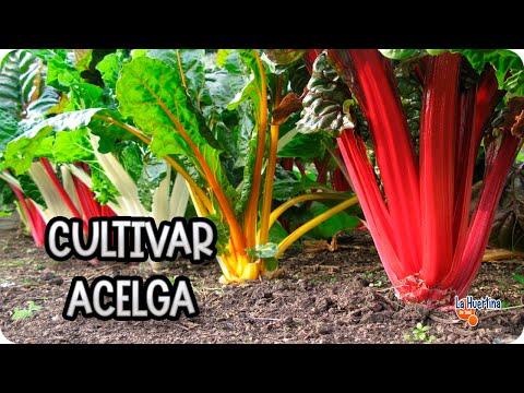 Como cultivar acelga en el huerto Notas La Biogua