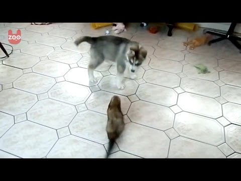 Husky Puppy and Ferret Playing Together!