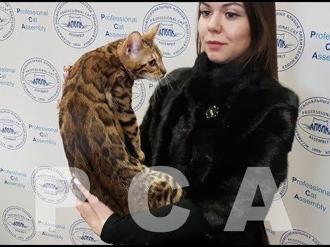 Бенгальская кошка. Выставка кошек PCA On-line