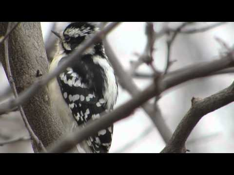How to tell a Hairy Woodpecker from a Downy--NARRATED (YouTube: Jo Alwood)