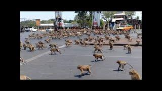 غزو من نوع آخر جيش من القردة يغزو مدينة باكملها في تايلاند.!