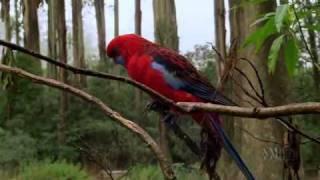 Австралия - страна попугаев 4/6(www.abc.net.au/programsales/s2242951.htm Попугаи и какаду - наиболее заметные птицы в Австралии.Они везде, и часто в большом..., 2010-09-05T21:09:37.000Z)