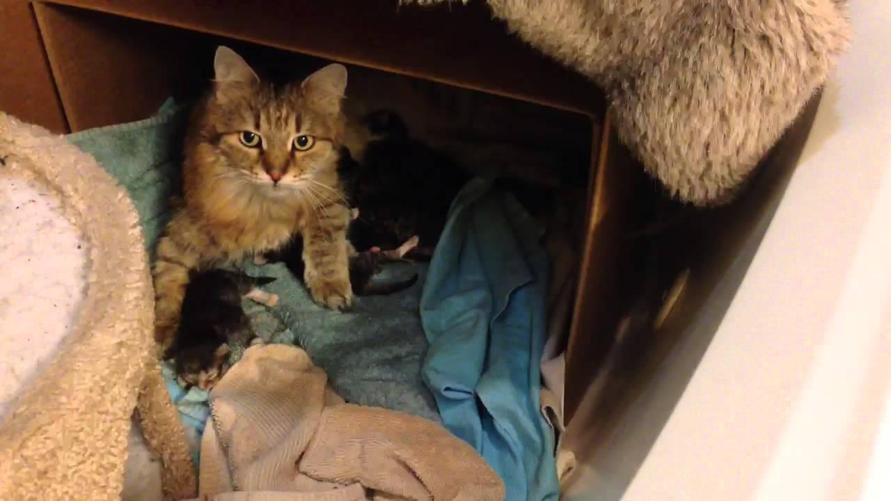 Spellbound Siberian Cats Live Stream