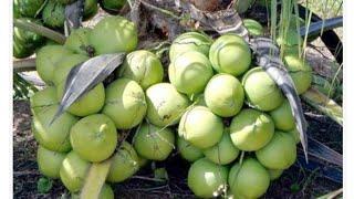 Como manter o Coqueiro Anão Sempre Carregado e Cheio de Frutas
