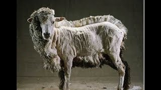 видео Стрижка овец -