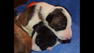 Rossi River Minibulls: Miniature Bull Terrier Socialization Training Demo
