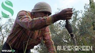 Innesto a corona olivo - Marze di olivo moraiolo innestato su olivo selvatico
