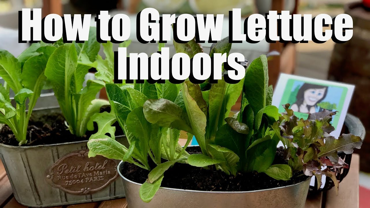 How To Grow Lettuce Indoors Bring Your Garden Inside Youtube