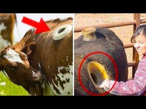 Intelligent Technology Smart Farming Automatic Cow Goat Milking Machine, Feeding, Cleaning, Washing