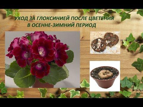 Глоксиния уход в домашних условиях размножение видео на русском