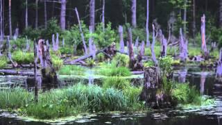 Пение птиц и кваканье лягушек