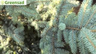 Ель колючая голубая - видео-обзор от Greensad(Хвойное дерево семейства Сосновые. Крона ели ширококонической формы с заостренной верхушкой. В зрелом..., 2012-10-14T15:46:11.000Z)