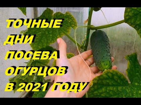 КОГДА СЕЯТЬ ОГУРЦЫ В 2021 ГОДУ? Не спешить сеять слишком рано! Посев по лунному календарю!